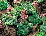 Sempervivium tectorum - Hardy Hens & Chicken Mix